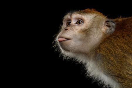 クローズ アップの肖像画の面白い長い尾のサルやカニを食べる猿サル、分離の黒背景に舌を表示