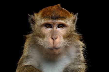 クローズ アップの肖像画の怒っている長い尾のサルまたは分離の黒背景にカニを食べる猿 写真素材