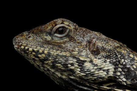 Close-up Frill-necked lizard, also known as the frilled lizard, Chlamydosaurus kingii, on isolated Black Background, profiel view
