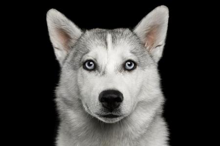 悲しい肖像画のハスキー子犬分離黒背景、正面に