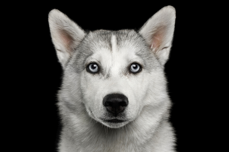Sad Portrait of Husky Puppy Isolated on Black Background, front view