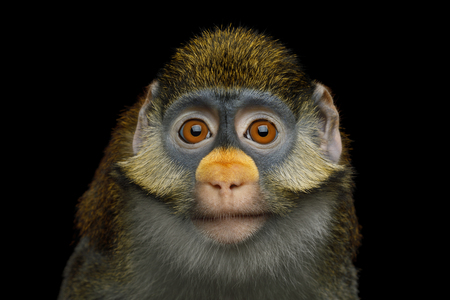 Portrait of Red tail monkey, or Schmidts guenon Cercopithecus ascanius ape Isolated on Black Background