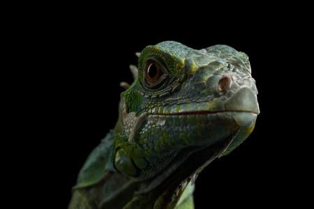 Testa del primo piano del rettile, giovane iguana verde isolata su fondo nero Archivio Fotografico - 83037345