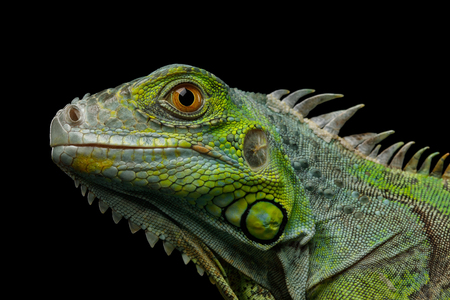 파충류, 젊은 녹색이 구 아나 검은 배경에 고립의 근접 머리