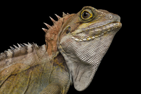 Close-up Water dragon, Physignathus coconcinus isolated on Black Background