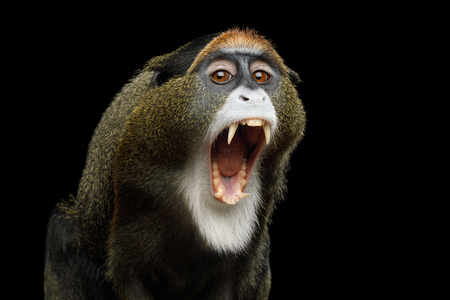 Close-up Portrait of Yawn De Brazzas Monkey on Isolated Black Background, show teeth 版權商用圖片 - 83037749