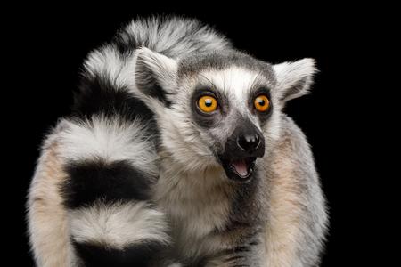 검은 배경에 고립 된 Ring-tailed 여우 원숭이 마다가스카르 동물의 근접 초상화