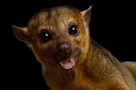 Portrait of Kinkajou, Potos flavus isolated on black background