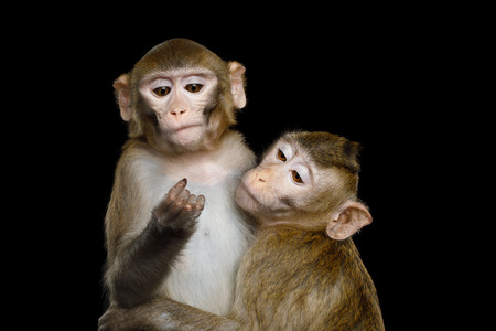 Portrait of Two Monkey Hugging, Crab-eating and Rhesus macaque on Isolated Black Background