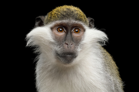 Close-up Portrait of Green Monkey Isolated on Black Background