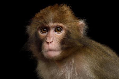 Portriat van Japanse Macaque Geïsoleerd op Zwarte Achtergrond