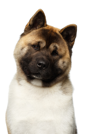 Close-up Portrait of American Akita Dog Breed on isolated White background, front view