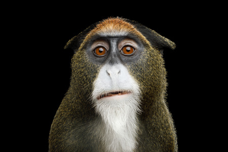 Close-up Portrait of Funny De Brazzas Monkey on Isolated Black Background