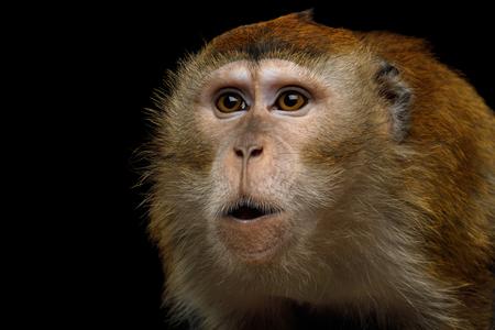 Het close-upportret van Boze macaque Met lange staart of Krab-Eet op Aap isoleerde Zwarte Achtergrond
