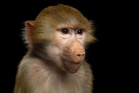 Hamadryas baboon, Portrait of Adorable face of Monkey Isolated on Black Background