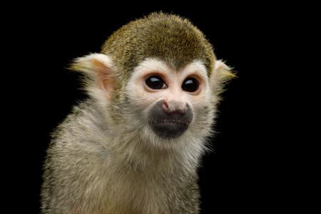 Close up retrato de mono ardilla o Saimiri aisladas sobre fondo negro