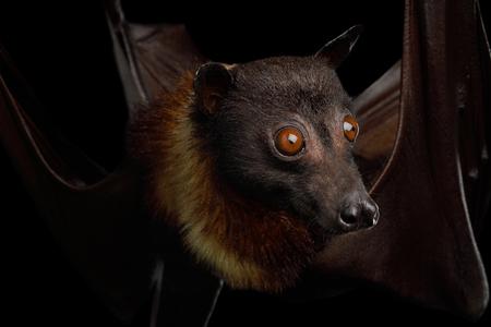 Close-up Portrait of Flying fox or Fruit Bat isolated on Black Background