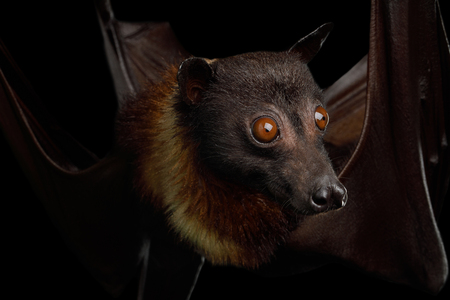 Close-up portret van Flying fox of Fruit Bat geïsoleerd op zwarte achtergrond