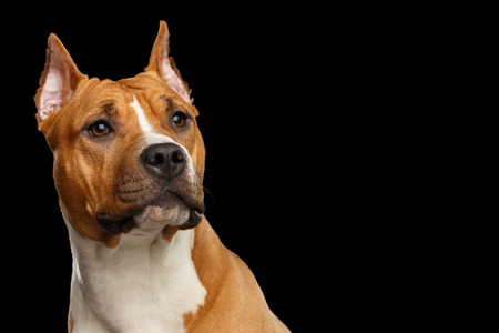 black and white pit bull: Portrait of Red American Staffordshire Terrier Dog Looking up Isolated on Black Background