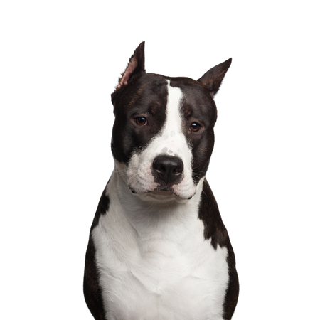 black and white pit bull: Portrait of Brown American Staffordshire Terrier Dog Looking in Camera Curiously Isolated on White Background Stock Photo