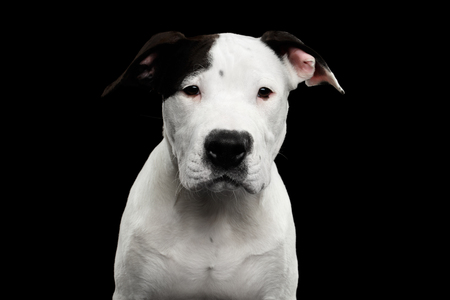 Portrait of White American Staffordshire Terrier Puppy Looking in Camera Isolated on Black Background, front view