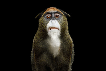 Close-up Portrait of Disgust De Brazzas Monkey on Isolated Black Background