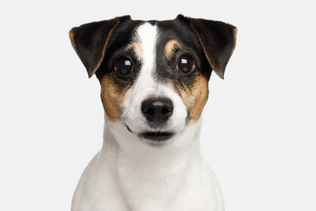 Portrait of Serious Jack Russell Terrier Dog isolated on White background, Front view Stock Photo