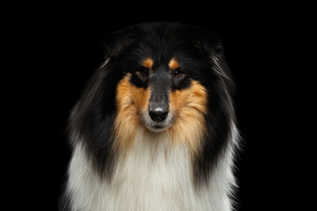 Portrait of Shetland Sheepdog Dog, Sheltie on Black Background, front view