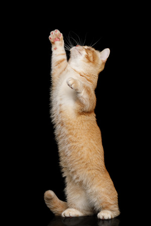 Red Munchkin Cat Standing Rearing up and Raising paw on Isolated Black background