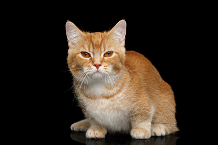 Red Munchkin Cat Sitting on Isolated Black background Banco de Imagens