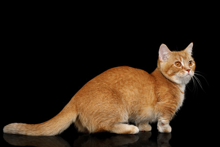 Red Munchkin Cat Standing on Isolated Black background, side view