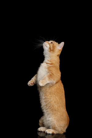 Red Munchkin Cat Standing Rearing up on Isolated Black background Stock Photo - 83545985