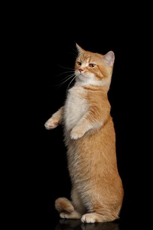 Rode Munchkin Cat Standing Op Op Geïsoleerde Zwarte Achtergrond