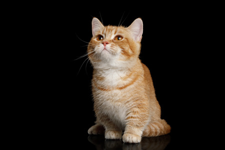 Red Munchkin Cat Sitting and Looking up on Isolated Black background, front view Banco de Imagens