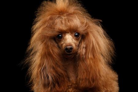 빨간 장난감 푸들 강아지의 초상화 격리 된 검정색 배경, 전면보기에 카메라를 찾고 호기심 스톡 콘텐츠