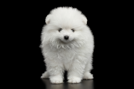 Groomed miniature Pomeranian Spitz white puppy Standing on black isolated background, front view