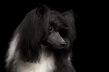 Portrait of Chinese Crested Dog on black background, profile view Stock Photo