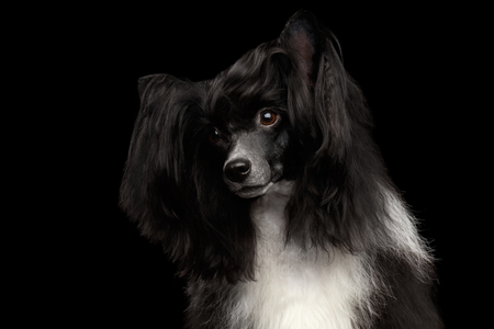 Portrait of Chinese Crested Dog on black background, front view Stock Photo
