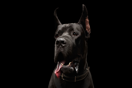 Close-up Portrait of Great Dane Dog Isolated on Black Background, studio shot Banque d'images - 83546002