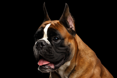 Portrait of Adorable Boxer Dog Isolated on Black Background Фото со стока