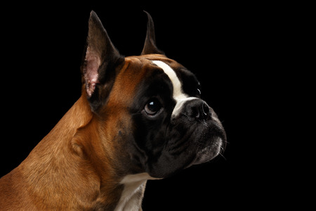 Portrait of Adorable Boxer Dog Isolated on Black Background Stock Photo
