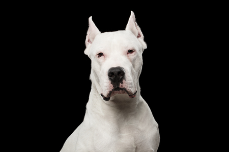 Portrait of Purebred Dogo Argentino Dog Isolated on Black Background Фото со стока