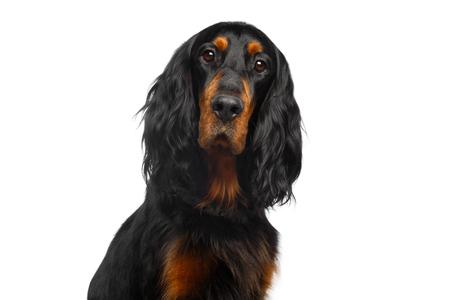 白い背景で隔離のイングリッシュ ・ セッター犬の肖像画
