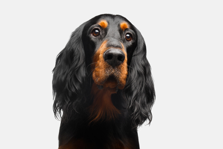 Portrait of English Setter Dog Isolated on White Background Stock Photo