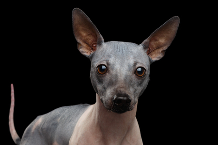 Cose-up American Hairless Terrier Dog Isolated on Black Background