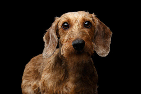 Portrait if Wirehaired Brown Dachshund Dog Curious Looking in Camera Isolated on Black Background, Front view 版權商用圖片