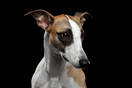 Adorable Portrait of Whippet Dog on Isolated Black Background Stok Fotoğraf