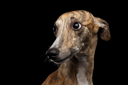 Portrait triste de chien Whippet semble coupable sur fond noir isolé Banque d'images