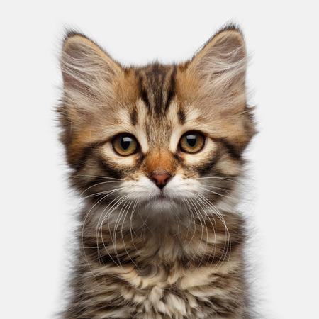 虎猫シベリアの肖像子猫分離白背景、正面にカメラを見て驚き