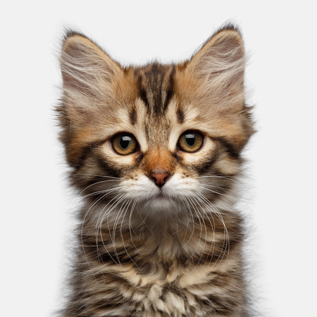 Portrait of Tabby Siberian kitten amazement looking at camera on isolated white background, front view Stock Photo